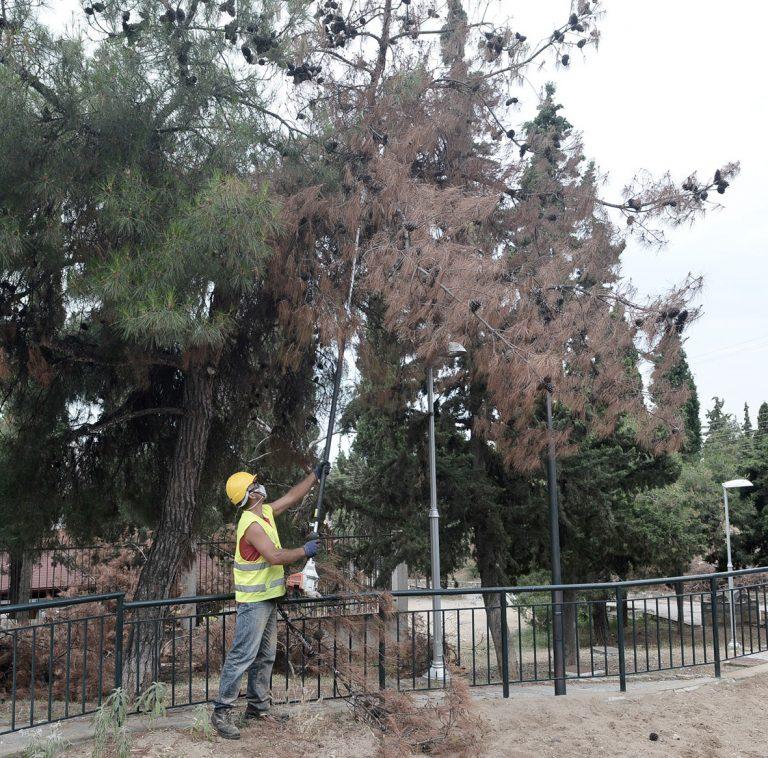 Υλοτόμηση ξηρών δένδρων στο Δημοτικό Άλσος Συκεών- Συνολικά 77 δένδρα έχουν σημανθεί για κοπή και απομάκρυνση